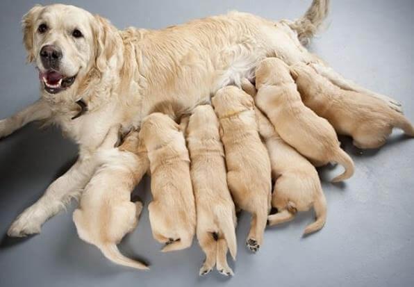 [Điềm Báo] Mơ thấy chó đẻ là điềm Lành hay Dữ? Đánh con con gì?