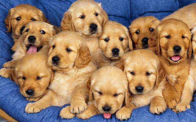Mơ thấy chó VÀNG là điềm báo gì? Nên đánh số mấy?